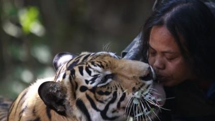 Учительница из Индонезии 10 лет держит тигра, как домашнего любимца