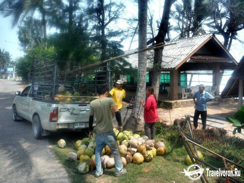 Как собирают кокосы в Таиланде_6 фото_ (1)