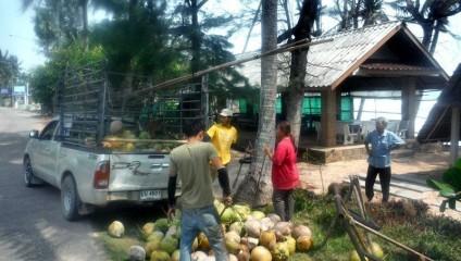 Открыт секрет сбора кокосов в Таиланде