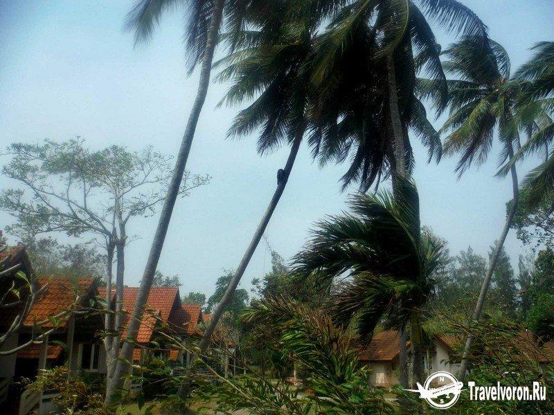 Как собирают кокосы в Таиланде_6 фото_ (2)