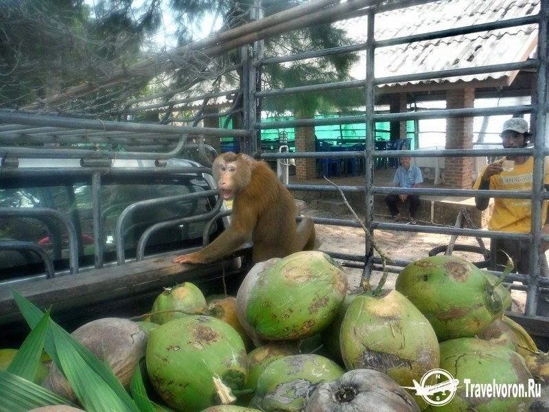 Как собирают кокосы в Таиланде_6 фото_ (3)