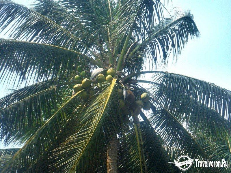 Как собирают кокосы в Таиланде_6 фото_ (4)