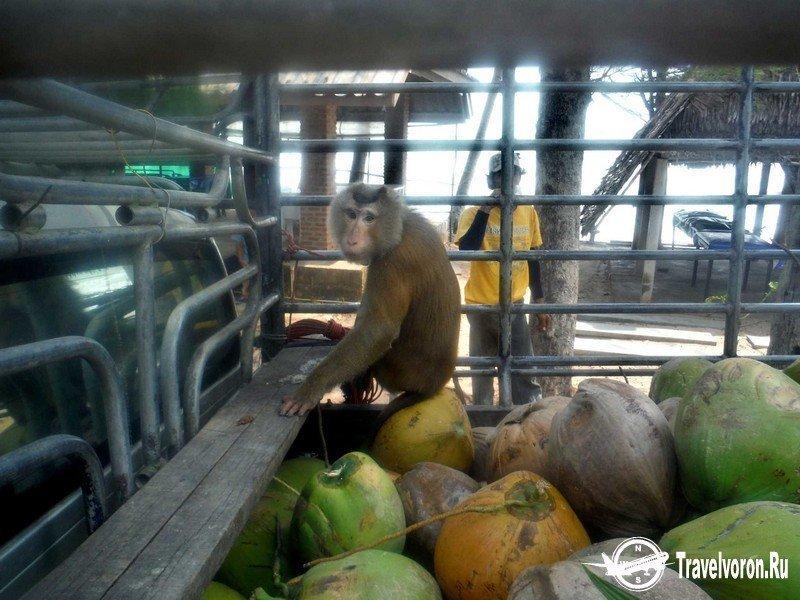 Как собирают кокосы в Таиланде_6 фото_ (5)