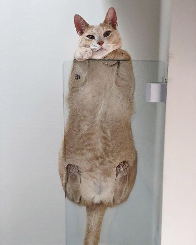 Коты на стеклянных столах и полках (19 фото) (10)