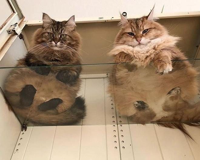 Коты на стеклянных столах и полках (19 фото) (13)
