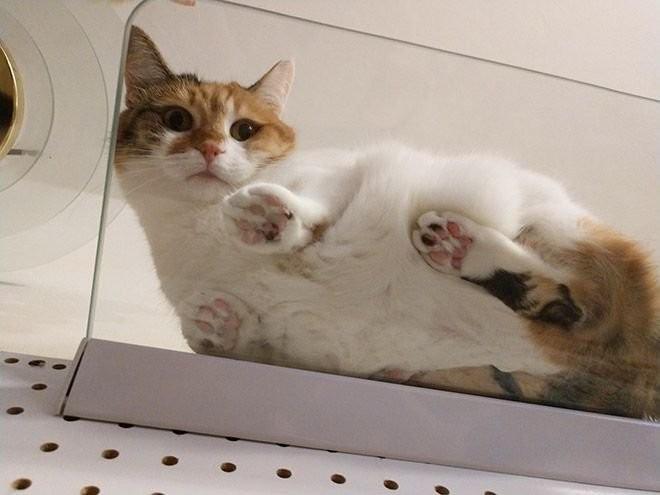Коты на стеклянных столах и полках (19 фото) (15)