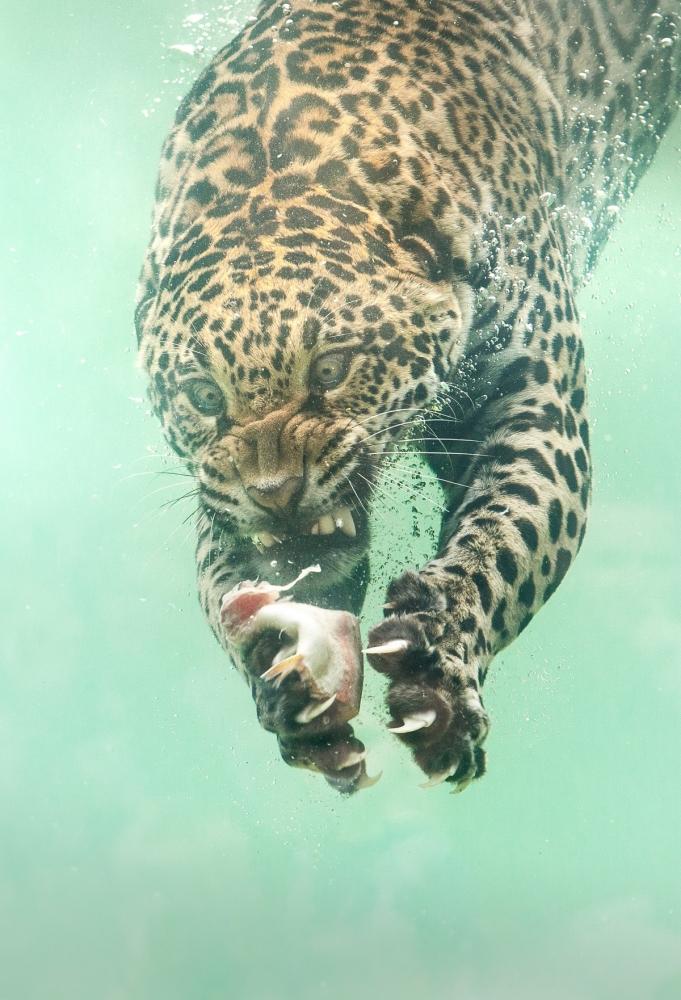 Редкие кадры_ ягуар ныряет в воду за едой (1)