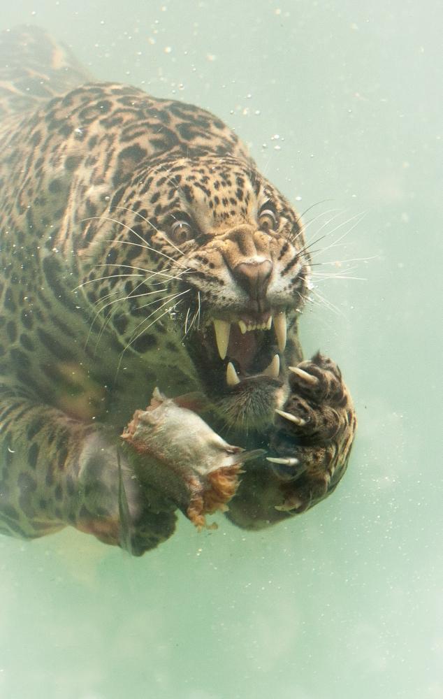 Редкие кадры_ ягуар ныряет в воду за едой (2)