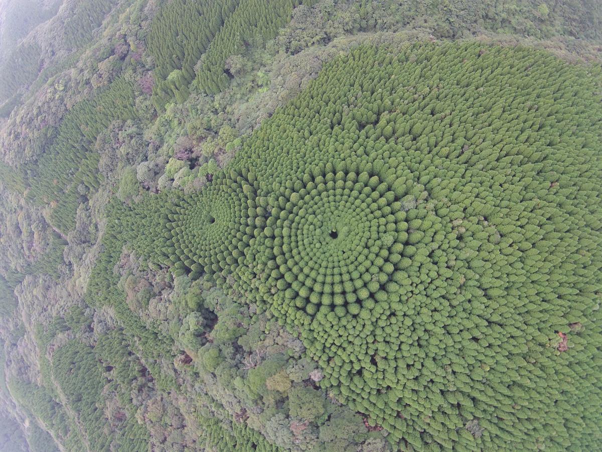 В Японии обнаружили круги деревьев_ которые стали результатом полувекового эксперимента 4