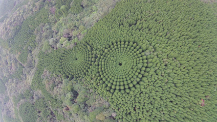 Круги из деревьев в Японии: необычный эксперимент