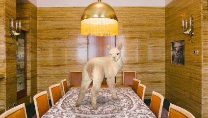 «Лучше жить с альпака» - самый веселый и безмятежный календарь
