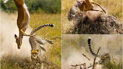 Грация антилопы и мощь гепарда: скрытая съемка охоты гепарда