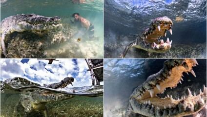 На волоске от смерти: фотосессия с крокодилами