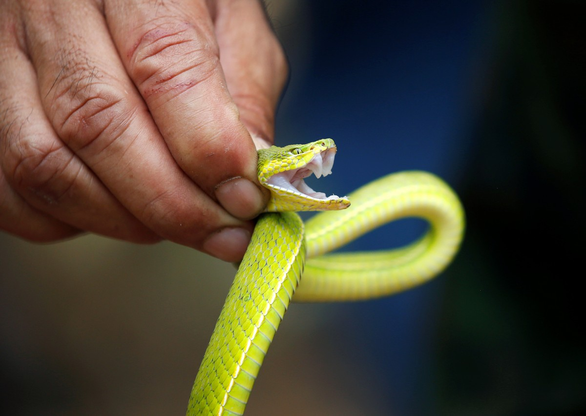 A Thai soldier presents a venomous snake during the Cobra Gold multilateral military exercise in Chanthaburi