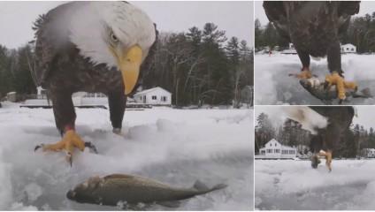 Кража средь бела дня: белоголовый орлан утащил улов рыбаков
