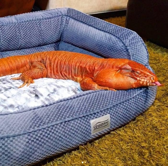 Ящерица тегу – забавное домашнее животное (3)