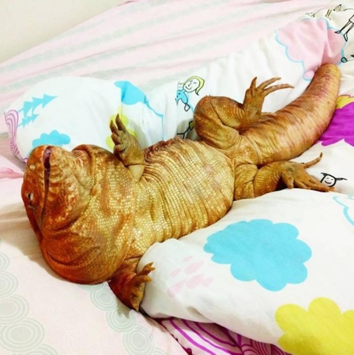 Ящерица тегу – забавное домашнее животное (6)