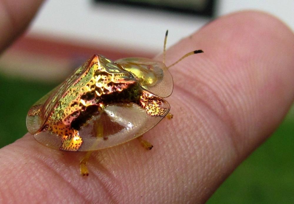 Чудо природы – золотая черепаха