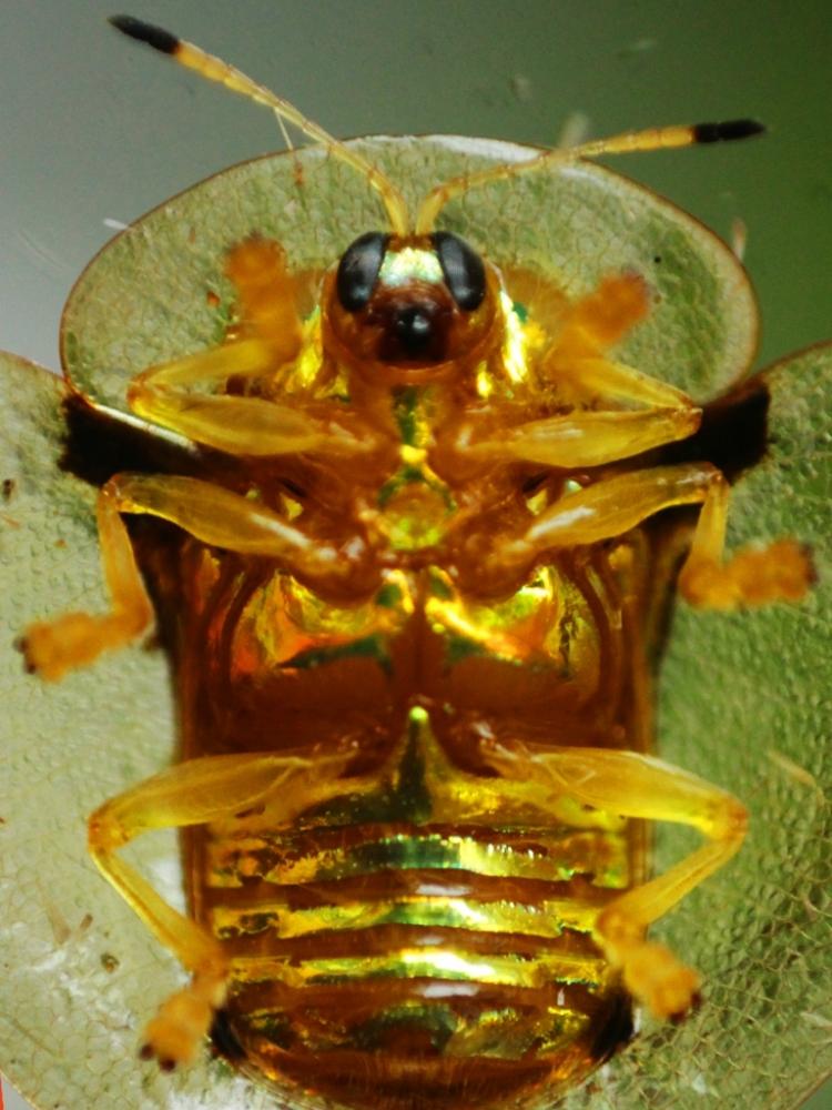 Золотая черепаха (2)