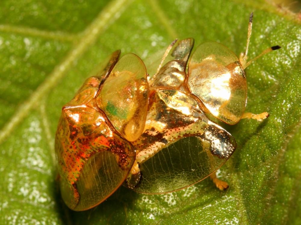 Золотая черепаха (8)