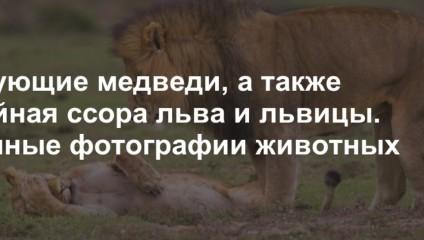 Танцующие медведи, а также семейная ссора льва и львицы