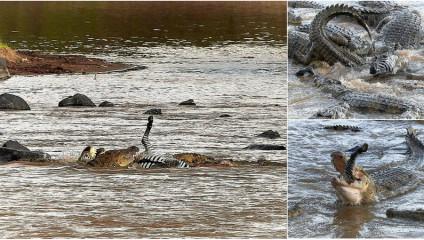 Более 40 крокодилов напали на зебру: фото