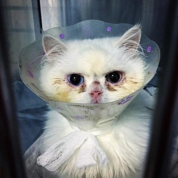 Белоснежкой мало родиться, надо еще стать принцессой. Бродячая белая кошка нашла дом и благодаря уходу стала выглядить хорошо