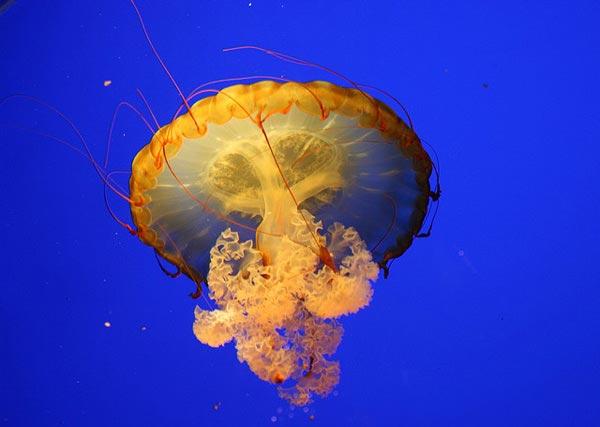 Медуза Clicksy