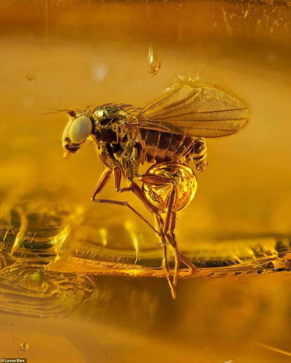 Потрясающие макроснимки древних насекомых в янтаре (1)