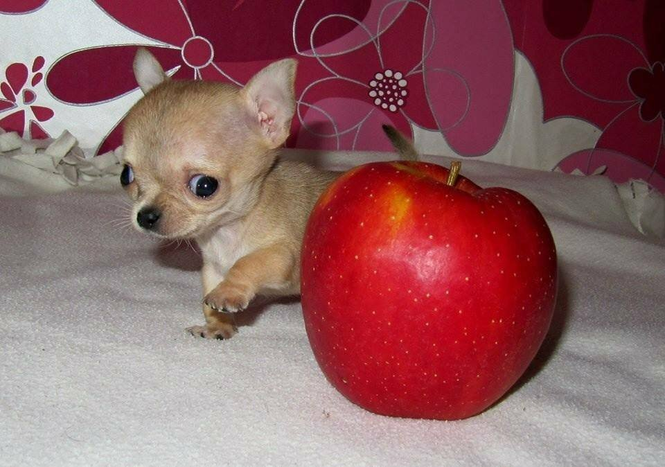 Самая маленькая собака в мире: рекорд побит?