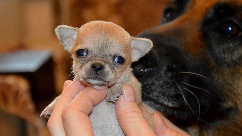 Туди — самая маленькая собака в мире_ (2)