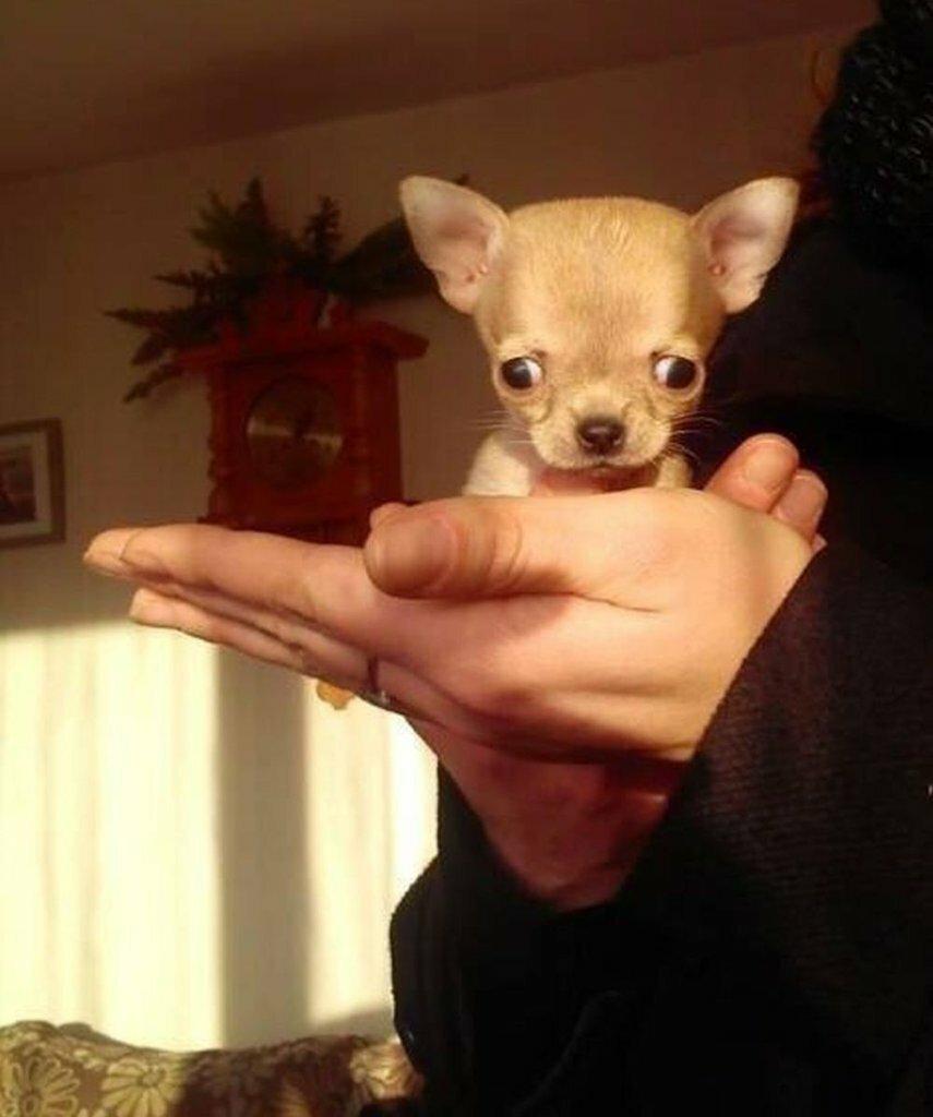 Туди — самая маленькая собака в мире_ (6)