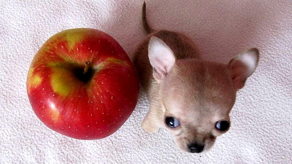 Туди — самая маленькая собака в мире_