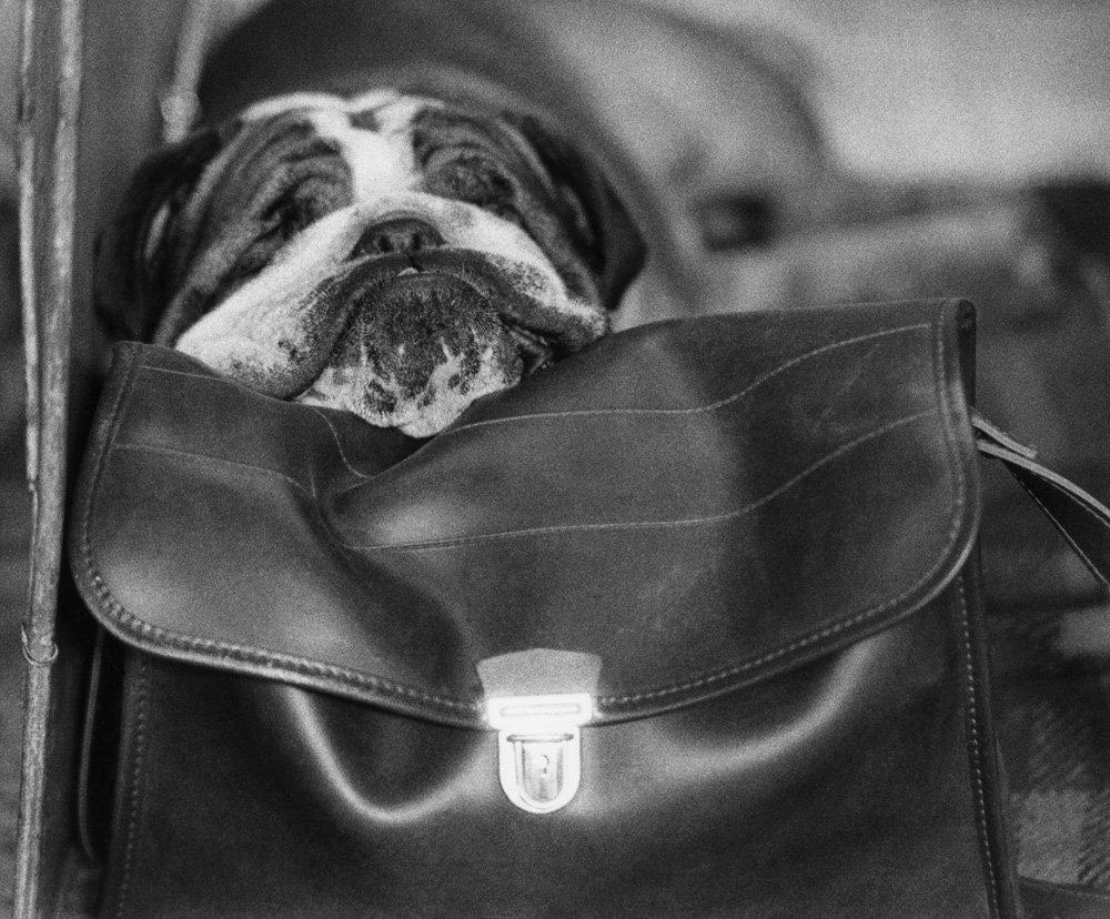 «Дай_ Джим_ на счастье лапу мне»_ фотографии Ширли Бейкер с выставок собак 1960_70_х 12