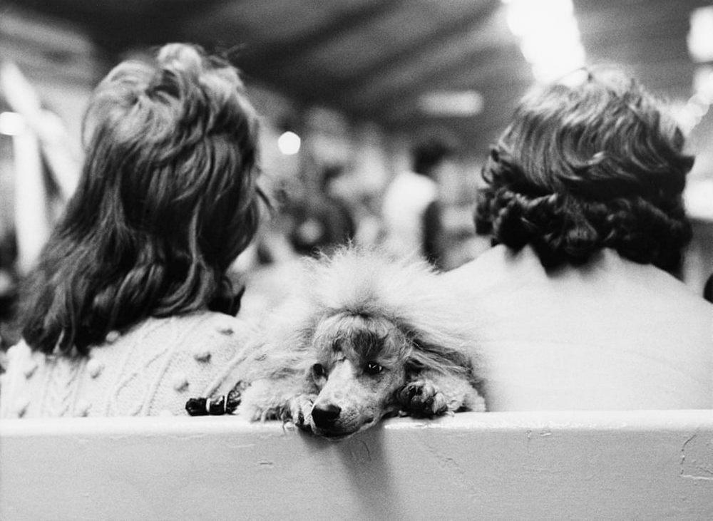 «Дай_ Джим_ на счастье лапу мне»_ фотографии Ширли Бейкер с выставок собак 1960_70_х 8
