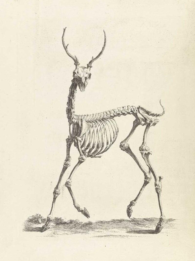 Достоверность и изящество в костях. «Остеография» Уильяма Чеселдена (1733) 11