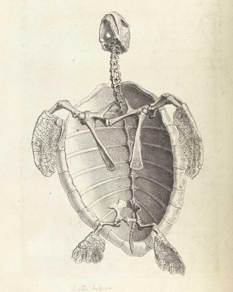 Достоверность и изящество в костях. «Остеография» Уильяма Чеселдена (1733) 12