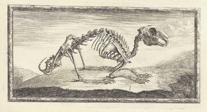 Достоверность и изящество в костях. «Остеография» Уильяма Чеселдена (1733) 5