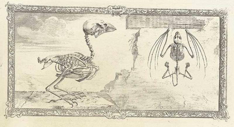 Достоверность и изящество в костях. «Остеография» Уильяма Чеселдена (1733) 6