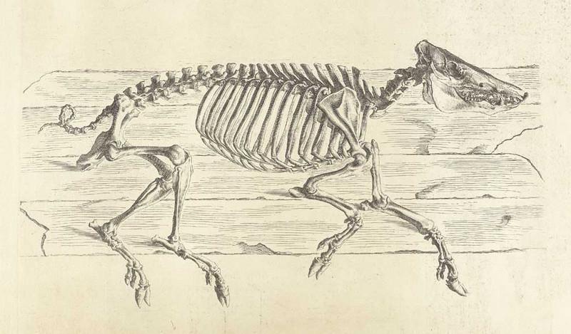 Достоверность и изящество в костях. «Остеография» Уильяма Чеселдена (1733) 7