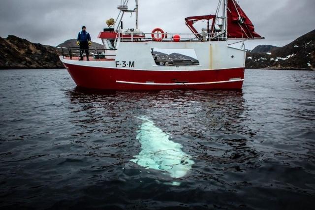 4-norvezhskie-rybaki-snyali-s-beluhi-podves-dlya-kamery-gopro-s-nadpisyu-oborudovanie-sankt-peterburga-7-foto