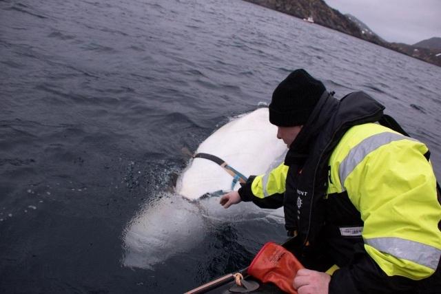 5-norvezhskie-rybaki-snyali-s-beluhi-podves-dlya-kamery-gopro-s-nadpisyu-oborudovanie-sankt-peterburga-7-foto