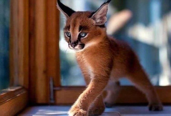 Котята каракала – одни из наиболее удивительных существе на свете