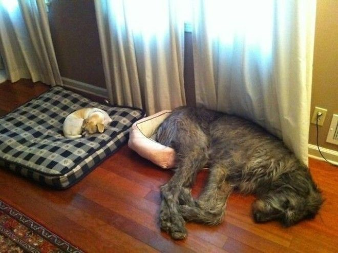 irishwolfhounds03_tumb_660