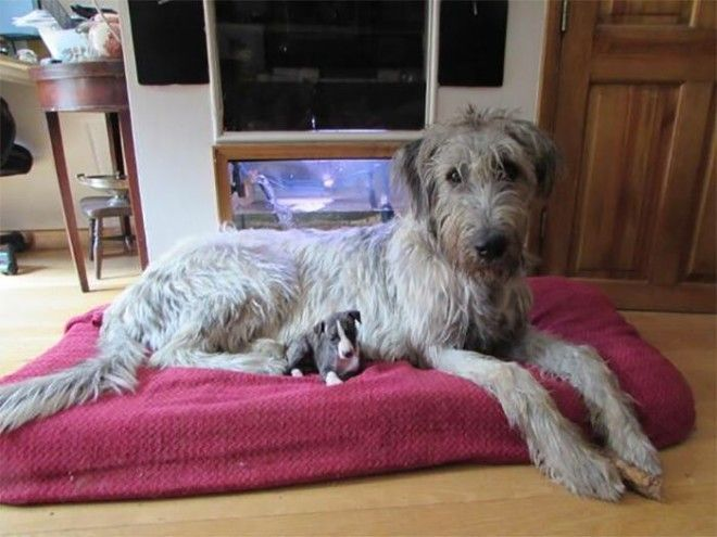 irishwolfhounds07_tumb_660