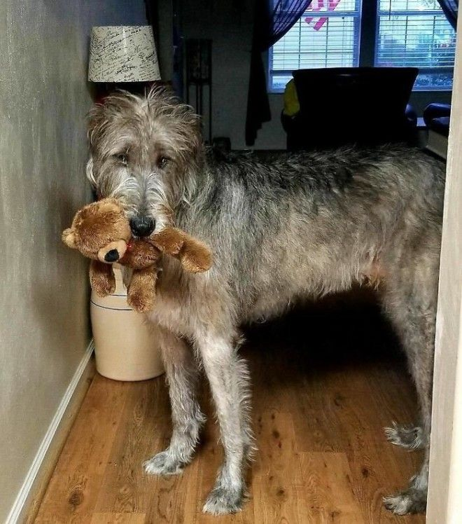 irishwolfhounds13_tumb_660