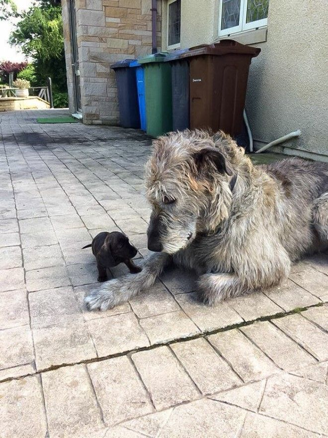 irishwolfhounds15_tumb_660