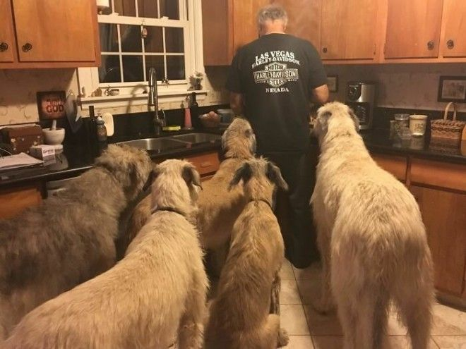 irishwolfhounds16_tumb_660