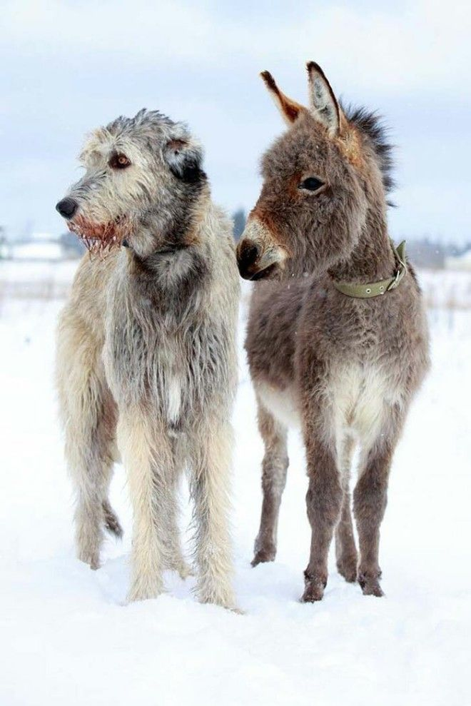 irishwolfhounds18_tumb_660