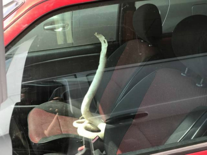 Змея-сигналка в машине. / Фото: Watson.